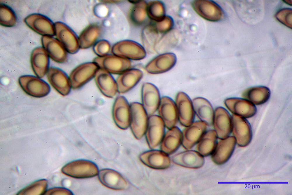 Inocybe flocculosa var crocifolia 7068 67.jpg