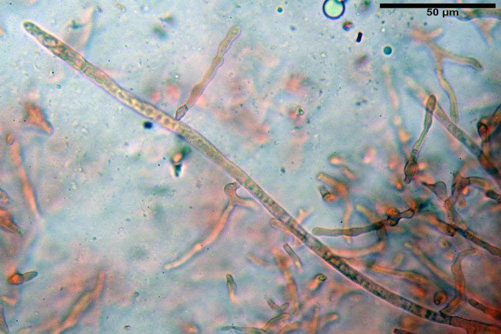 Russula tinctipes 7355 18.jpg