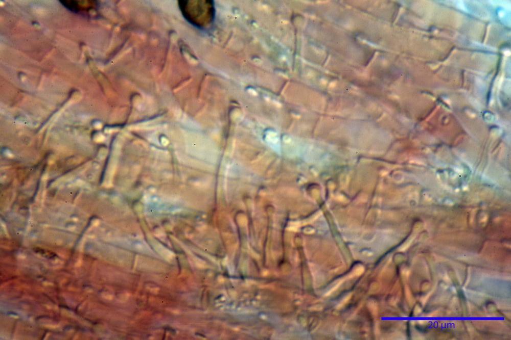Phaeocollybia lugubris 6657 77.jpg
