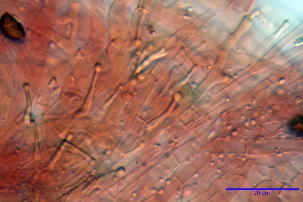 Phaeocollybia lugubris 6657 83.jpg