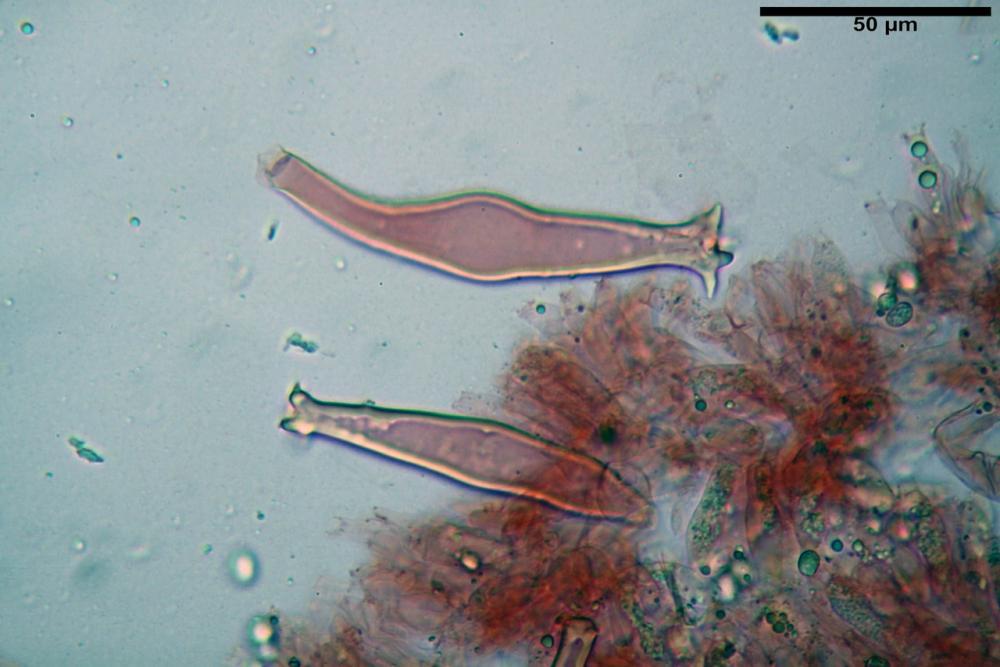 pluteus sandalioticus 46 .jpg