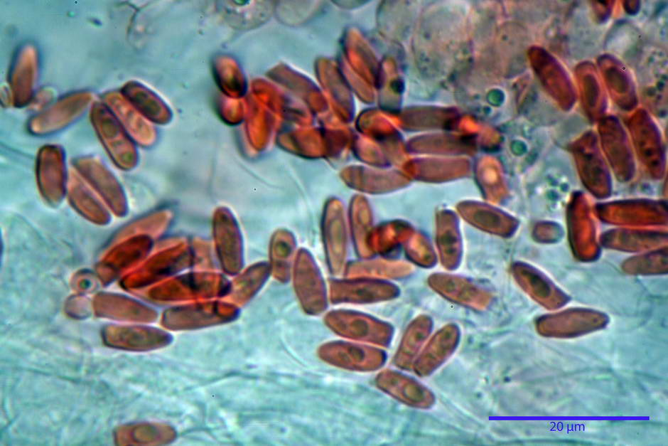 lepiota griseovirens 4598 19.jpg