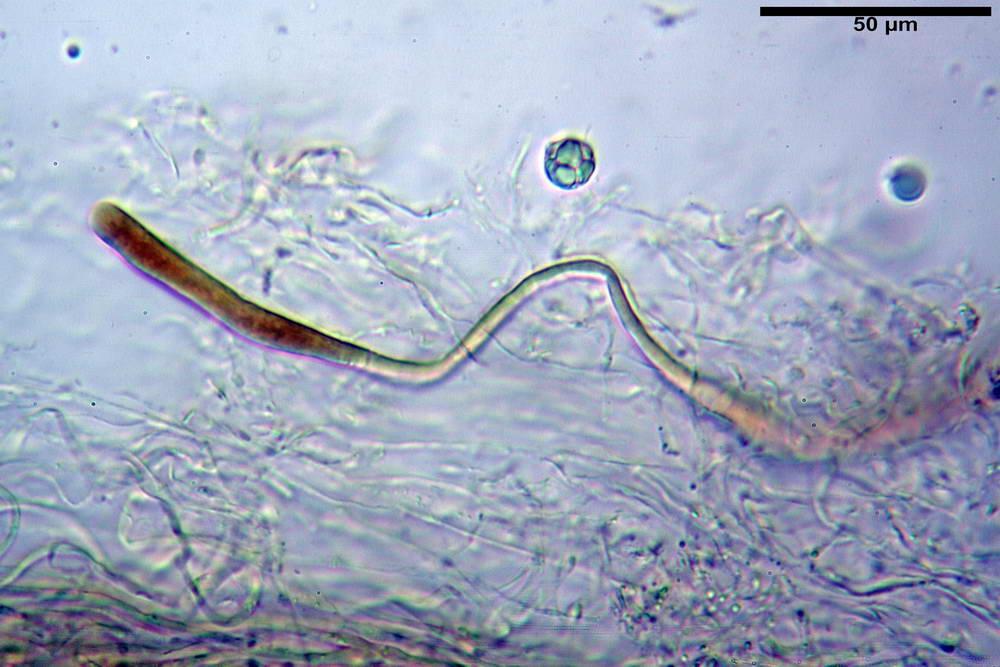 amanita ceciliae 06.jpg