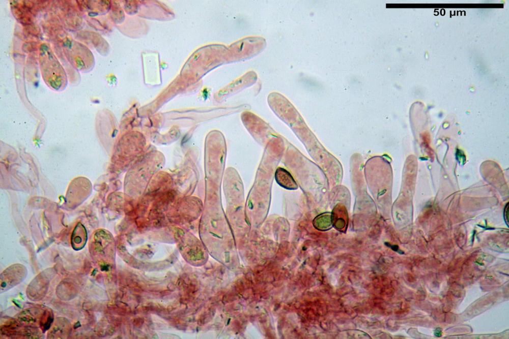 Hebeloma quercetorum 7370 28.JPG