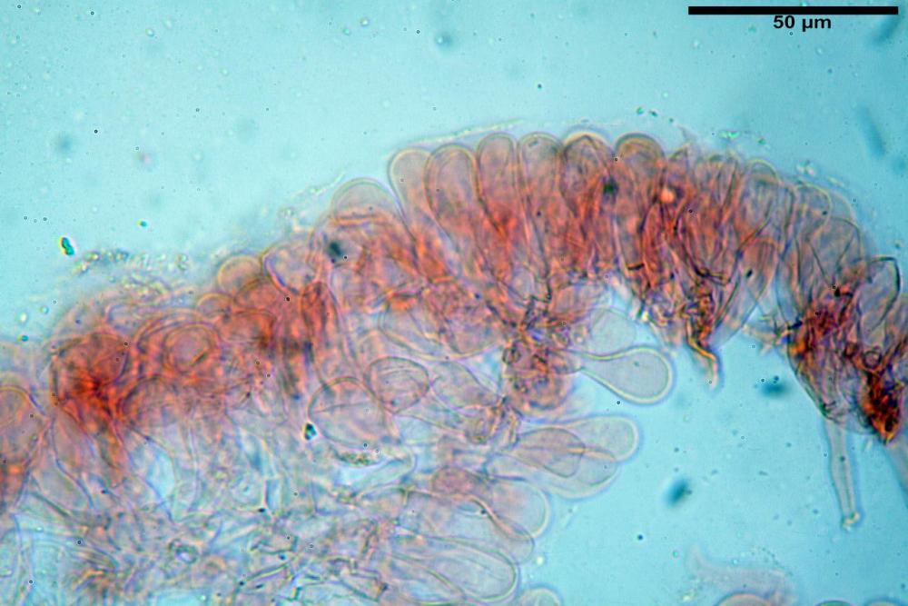 Pholiotina dasypus 7474 06.JPG
