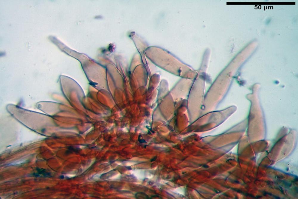 Inocybe phaeodisca var geophylloides 5226 36.jpg