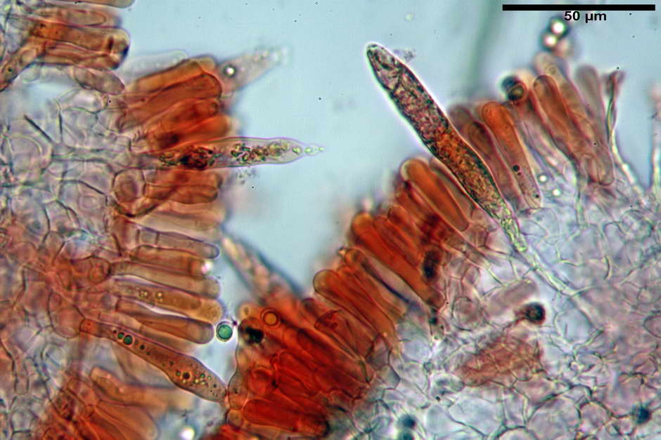 russula pseudoaeruginea 56.jpg