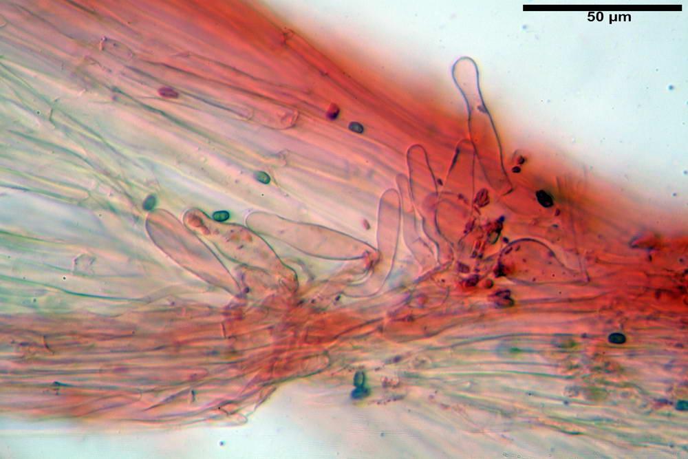 psathyrella hydrophila 47.jpg