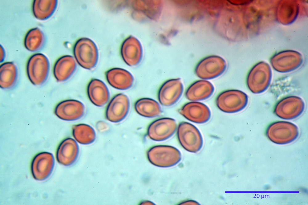 leucoagaricus cinerascens 5025 70.jpg