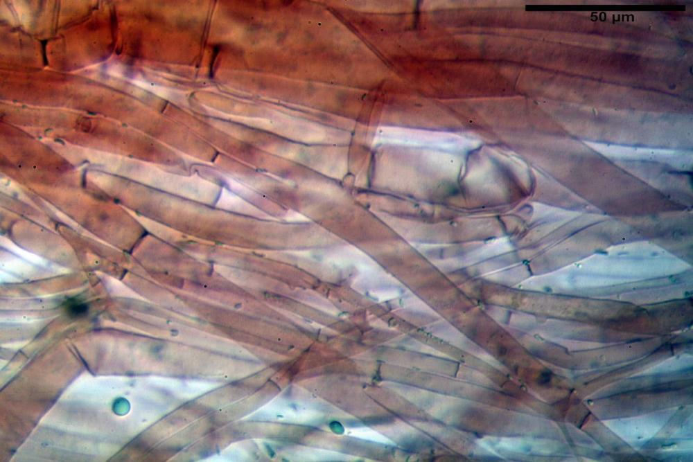 Phaeocollybia lugubris 6657 89.jpg