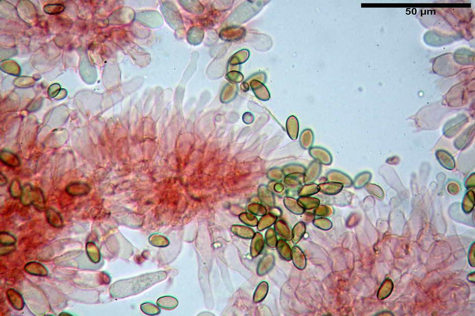pholiotina nemoralis var nemoralis 4834 26.jpg