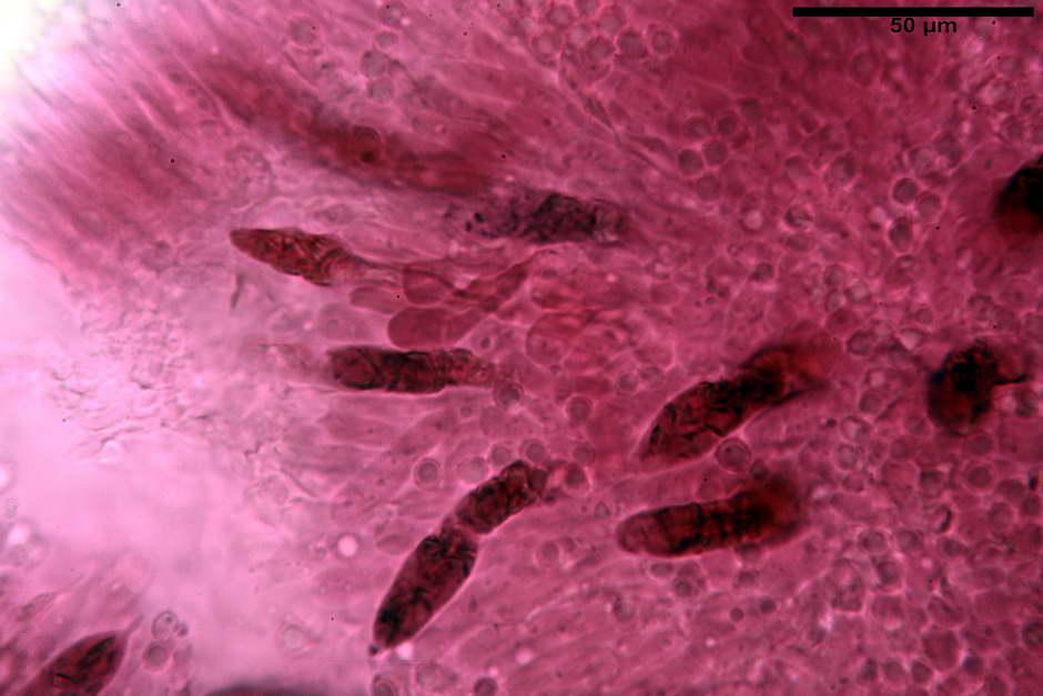 russula pseudoaeruginea 65.jpg