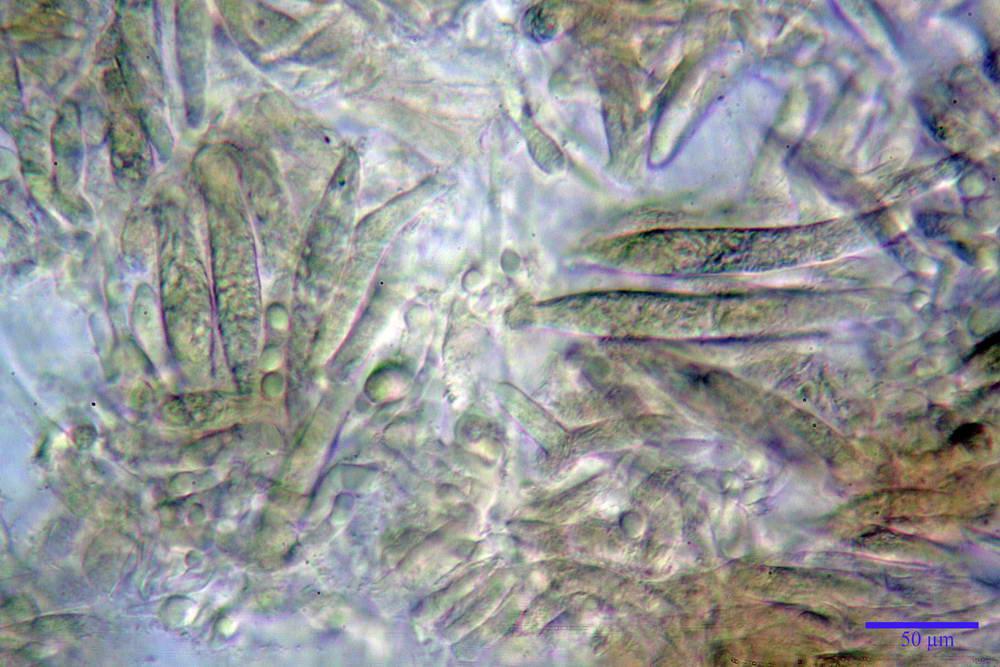 russula farinipes 5001 97.jpg