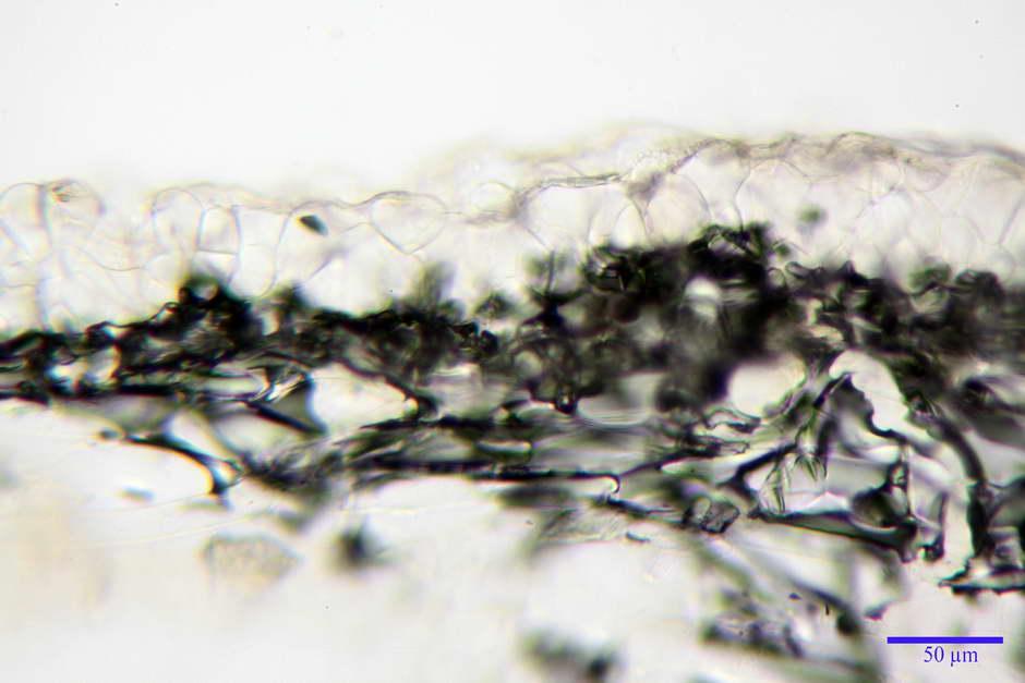 panaeolus papilionaceus var papilionaceus 4682 docx 14.jpg