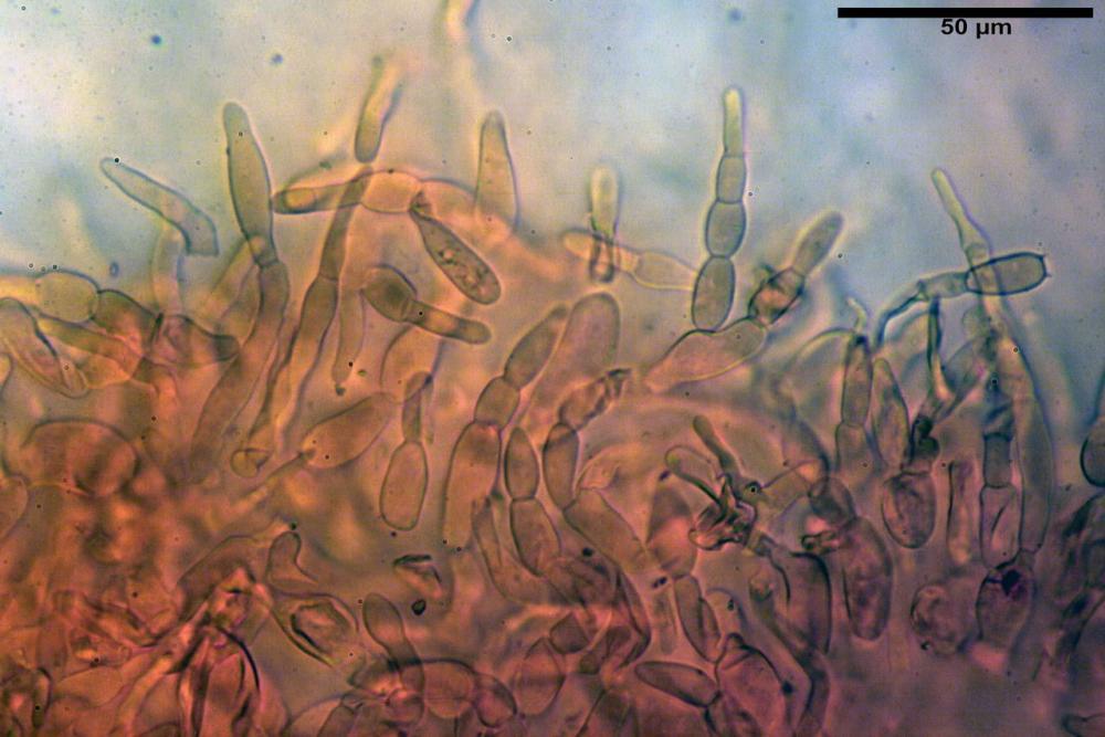 Russula faustiana0007.jpg