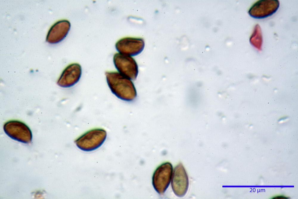 Phaeocollybia lugubris 6657 69.jpg