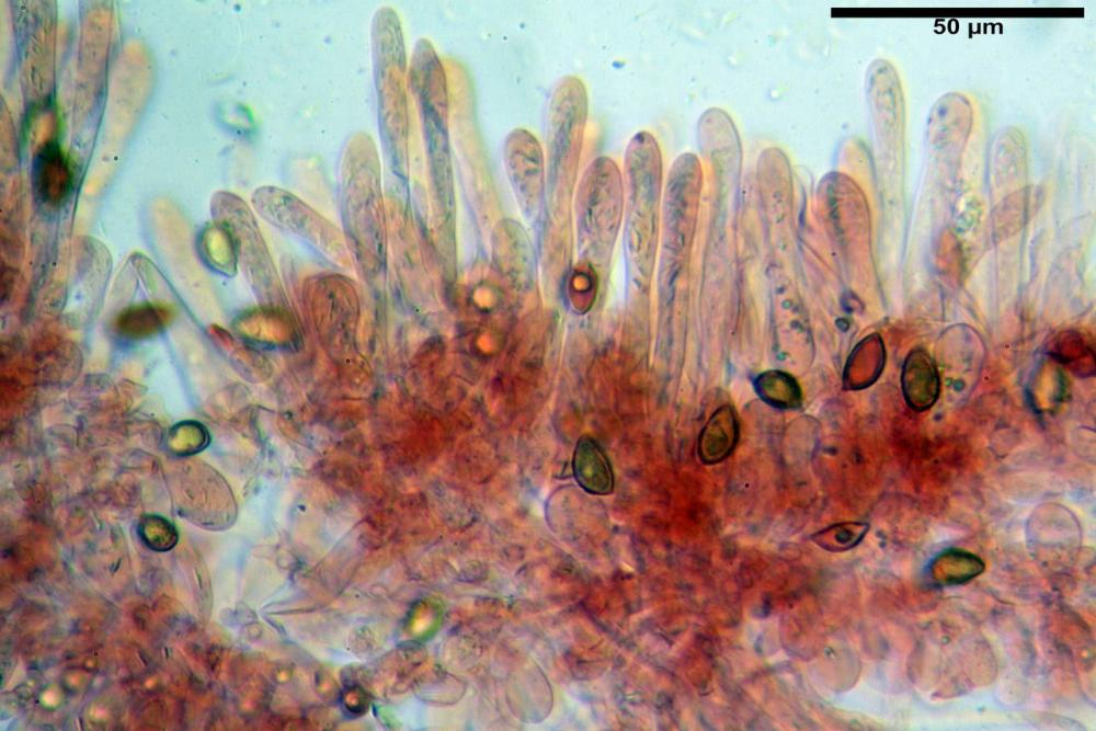 Hebeloma quercetorum 7370 18.JPG