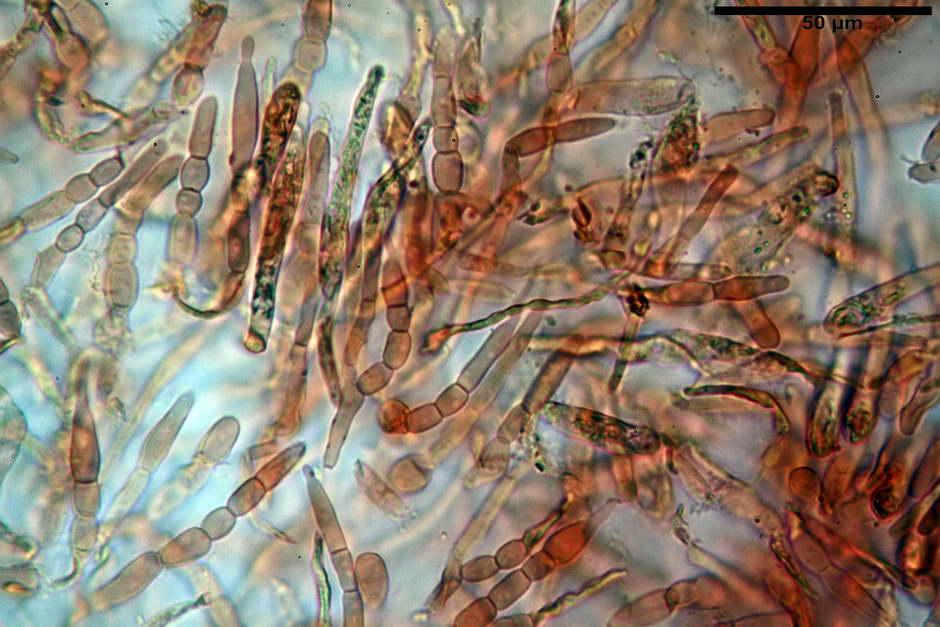russula pseudoaeruginea 16.jpg