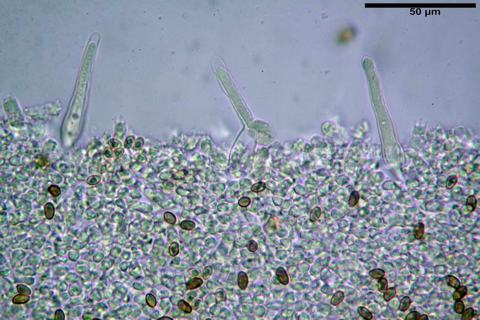 pholiota higlandensis 4837 15.jpg