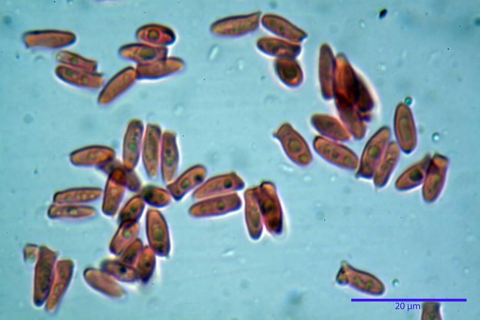 lepiota griseovirens 4598 18.jpg