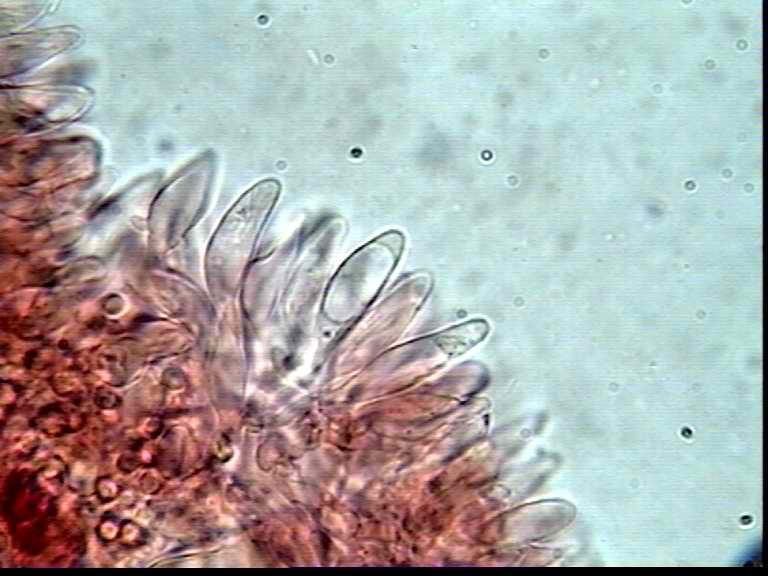 baeospora_myosura1853_03.jpg