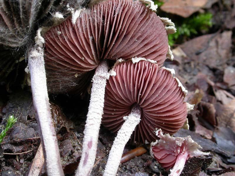 melanophyllum1_haematosperm.jpg