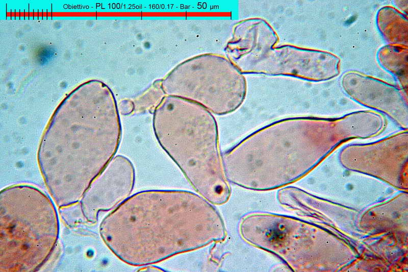 psathyrella_badiophylla_2861_32.jpg