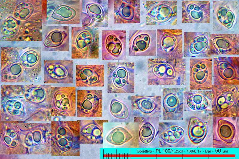 lyophyllum_deliberatum_3161_11.jpg