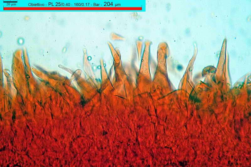 macrocystidia_cucumis_3437_06.jpg
