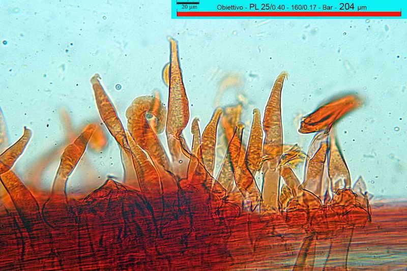 macrocystidia_cucumis_3437_32.jpg