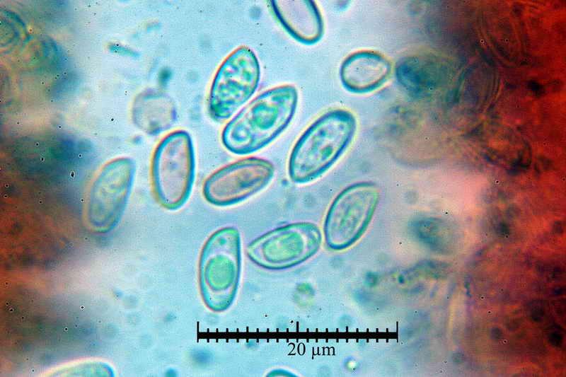 macrocystidia_cucumis_3437_29.jpg