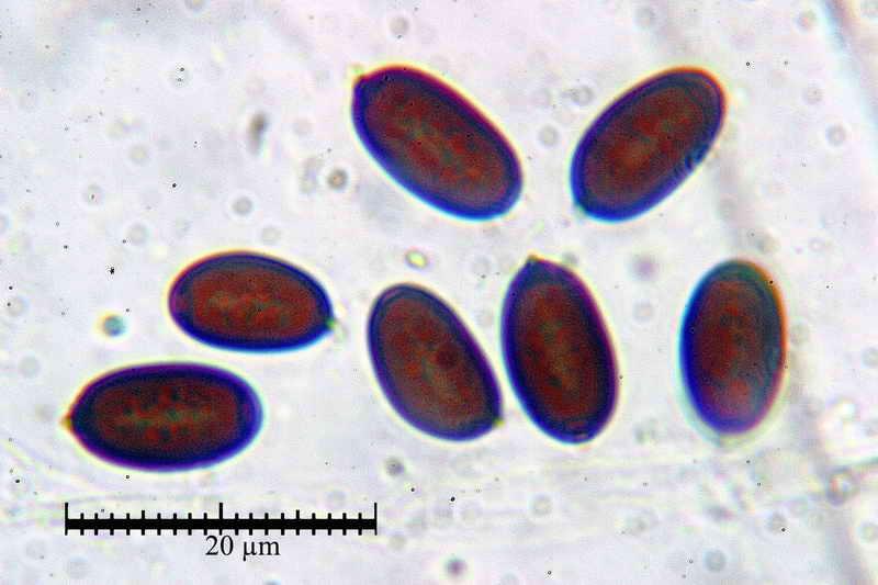 coprinopsis_radiata_3457_10.jpg