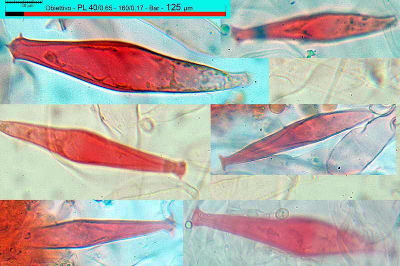 pluteus_pouzarianus_3492_36.jpg
