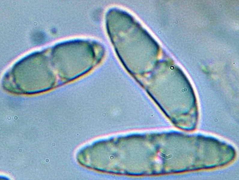 microglossum_olivaceum_32.jpg