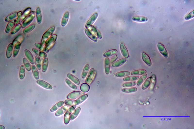 rhizopogon_villosulus_4208_07.jpg