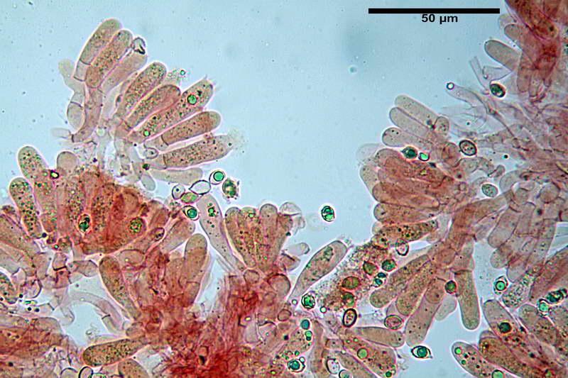 melanoleuca_rasilis_var_leucophylloides_29.jpg