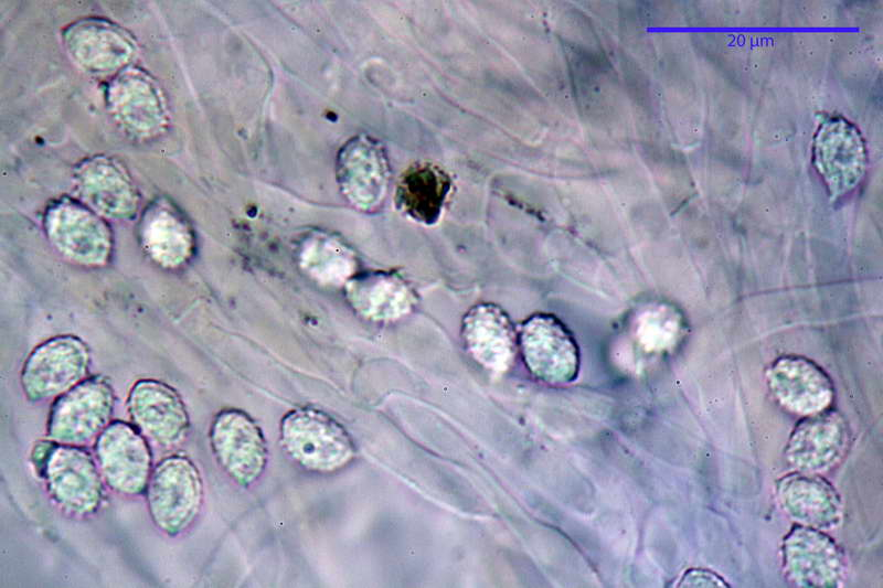 melanoleuca_rasilis_var_leucophylloides_46.jpg