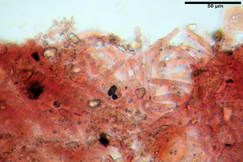 cortinarius_pseudocyanites_4492_16.jpg