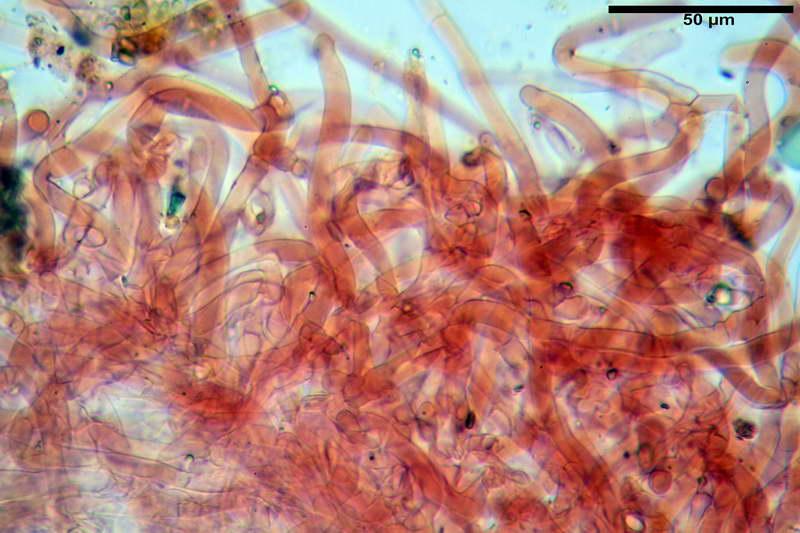 cortinarius_pseudocyanites_4492_18.jpg