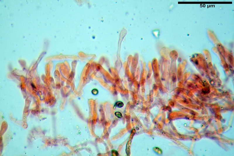 cortinarius_pseudocyanites_4492_27.jpg