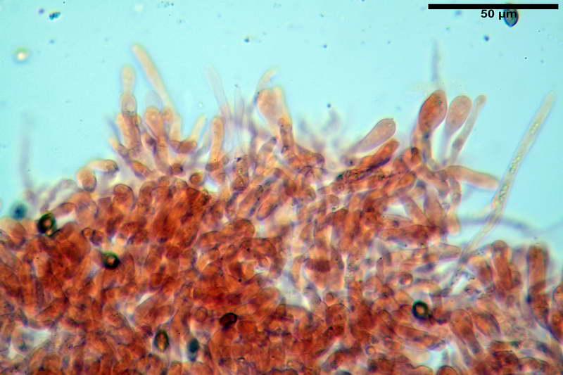cortinarius_pseudocyanites_4492_29.jpg