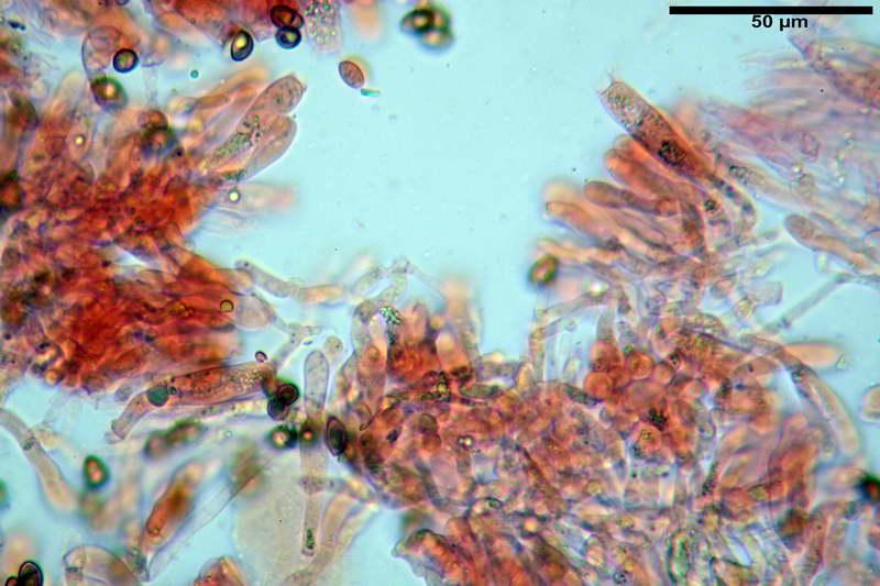 cortinarius_pseudocyanites_4492_33.jpg