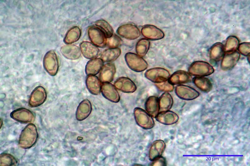 cortinarius_pseudocyanites_4492_43.jpg