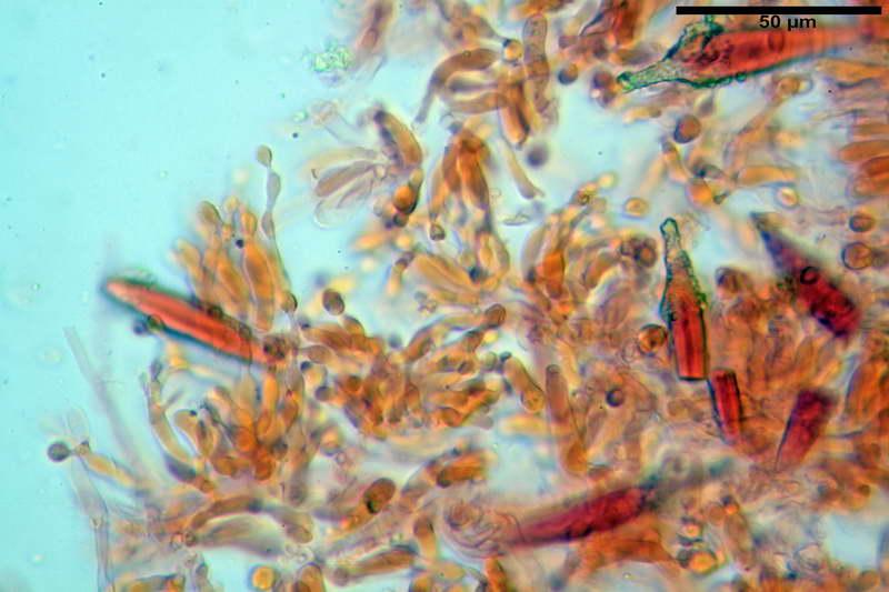 Hohenbuehelia_auriscalpium_4501_33_resize.jpg
