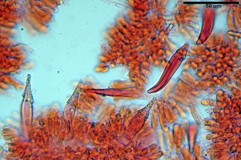 Hohenbuehelia_auriscalpium_4501_38_resize.jpg