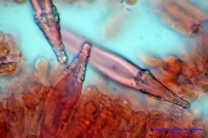 Hohenbuehelia_auriscalpium_4501_41_resize.jpg