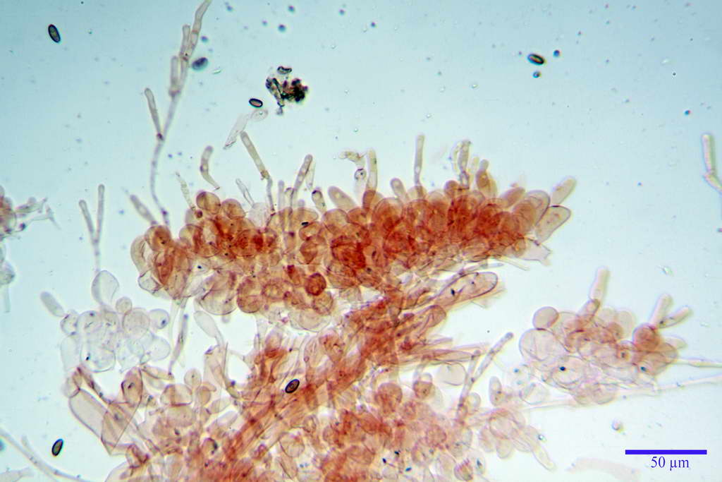 bolbitius_reticulatus_var_pluteoides_4555_14.jpg