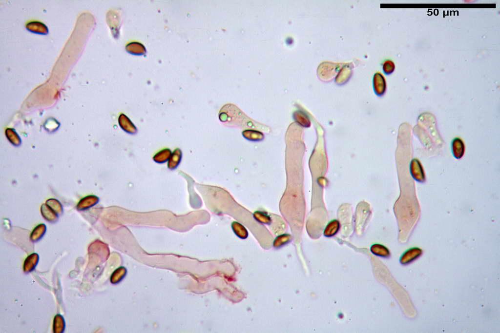 bolbitius_reticulatus_var_pluteoides_4555_26.jpg