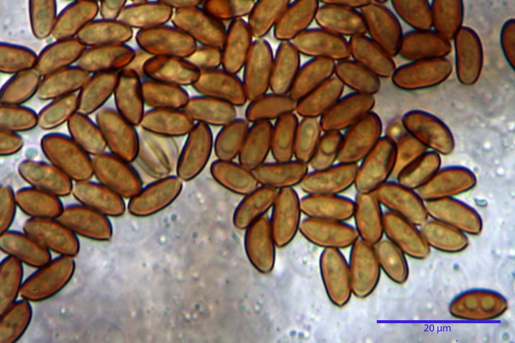 bolbitius_reticulatus_var_pluteoides_4555_45.jpg