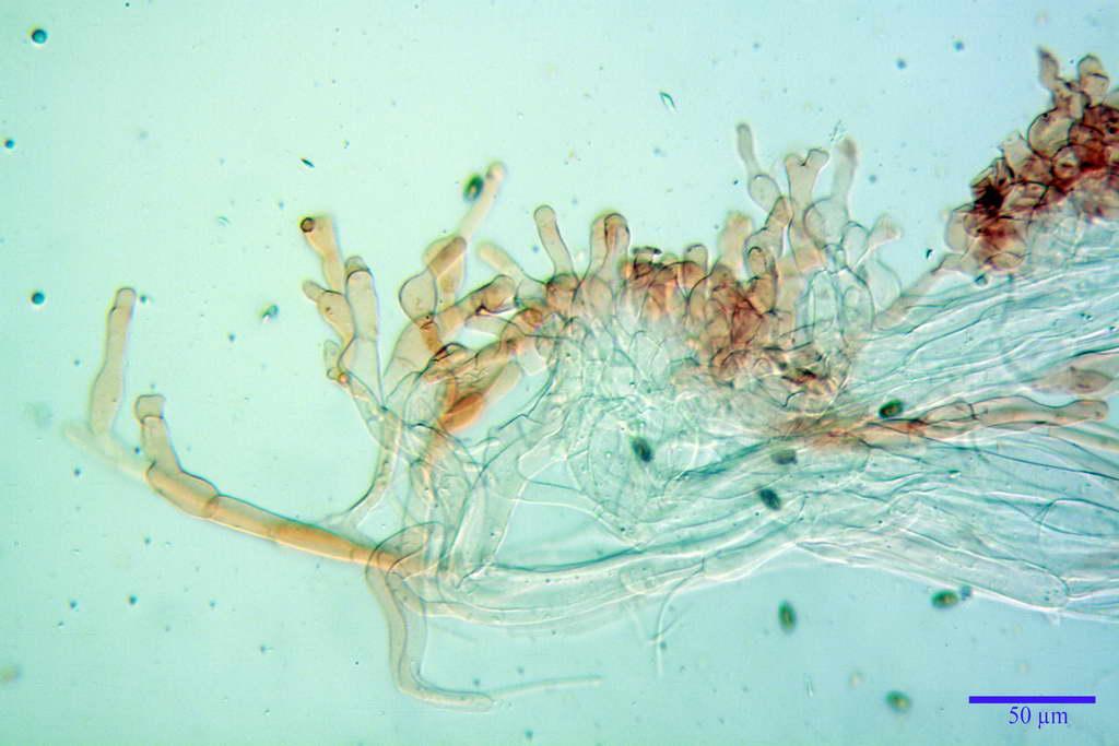bolbitius_reticulatus_var_pluteoides_4555_54.jpg